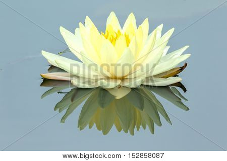 Yellow Lotus flower and Lotus flower plants