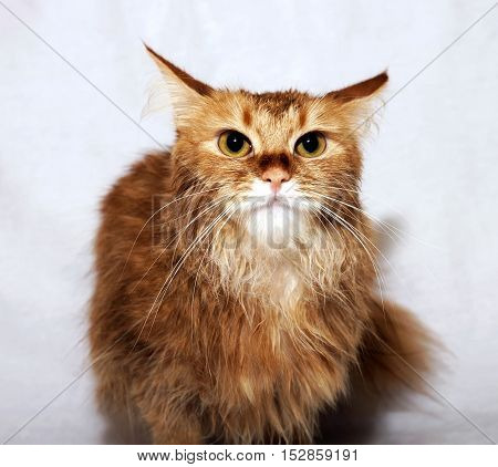 General view of a red domestic cat on a light background