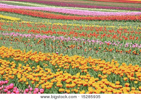 Field of colorful tulips in bloom.