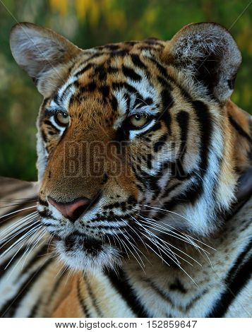 Beautiful face of Indo-Chinese tiger, Tiger Temple, Thailand