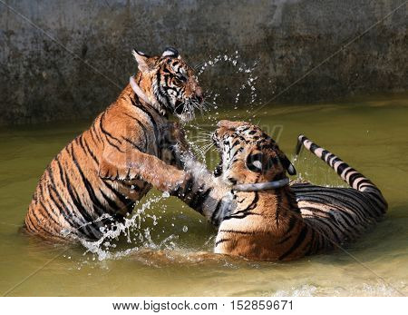 The game the young tigers in the lake, Thailand, Tiger Temple
