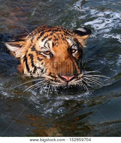 Big tiger swims in the lake on a hot day, Thailand, Tiger Temple