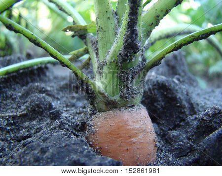carrots-a root vegetable rich in vitamins growing in the ground