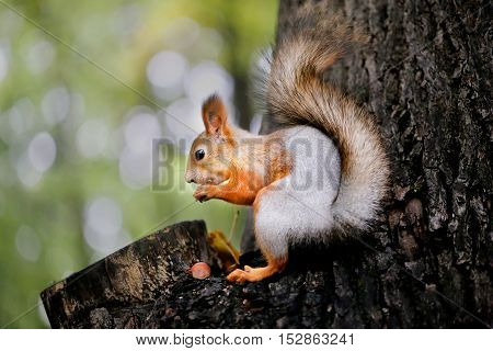Beautiful portrait of a squirrel in a tree photographed close up