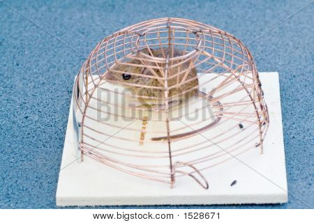 Trapped House Mouse