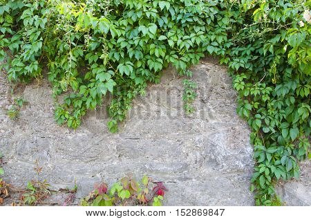 Green Creeper Plant on stone wall closeup copy space