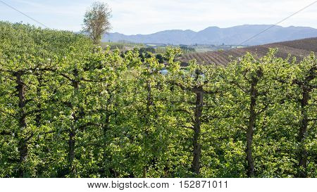 Rows Of Pear Trees On Farm