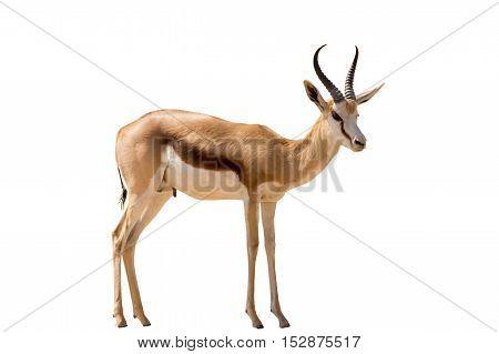 Namibian Springbok Standing, Full Body, Isolated On White Background