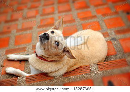 Native Thai Dog Relax On Floor