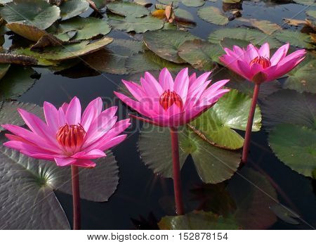 Three Blooming Vivid Pink Lotus Flowers and Green Leaves in a lake of North-Eastern Thailand