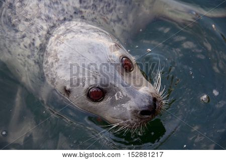 A closely cropped image of a swimming harbour seal showing its large brown eyes and glossy wet fur.