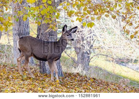 Baby Canadian Mule Deer In The Woods