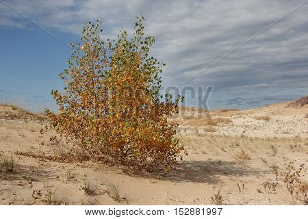 An aspen tree during fall. In Sleeping Bear Dunes National Lakeshore, Michigan.