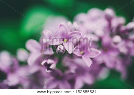 Branch of lilac flowers with green leaves, floral natural vintage hipster background, soft focus