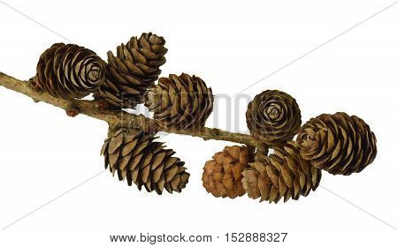 Natural fir cones on a branch. / Isolation on a white background without shadows /. The elements of the Christmas decor. Close-up.