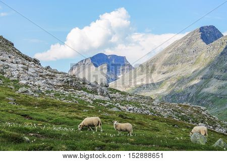 Family of 3 Sheeps eating grass in the Norwegian Mountains