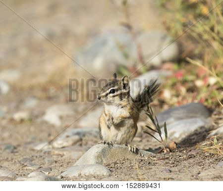 Least chipmunk standing on a river rock