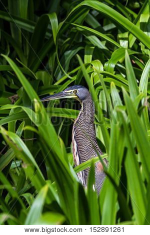 Bare Throated Tiger Heron - Tigrisoma Mexicanum