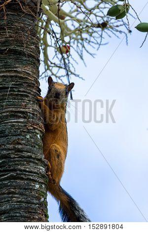 Red Squirrel Peeking Around A Tree