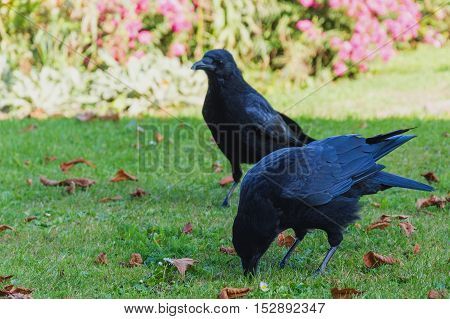 Two Common Ravens birds on green grass, Corvus corax