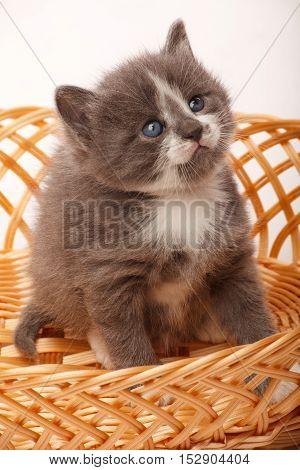 Little gray kitten in wickerlooking alike little bear