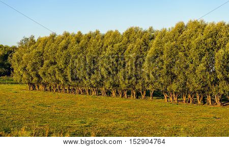 Long line of high and characteristically shaped willow trees in a Dutch nature reserve. It is still early in the morning of a sunny day at the beginning of the autumn season.