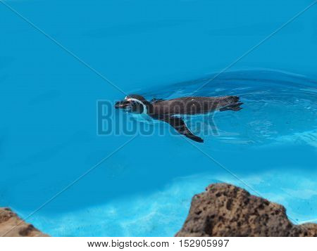 A penguin swim in the crystal-clear water