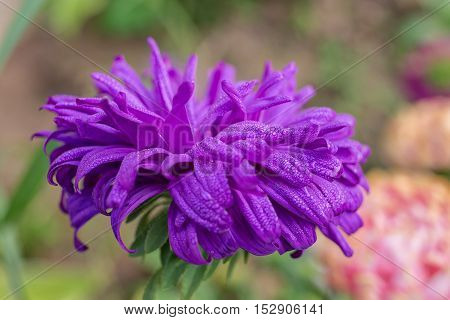 violet aster with drops of dew close up