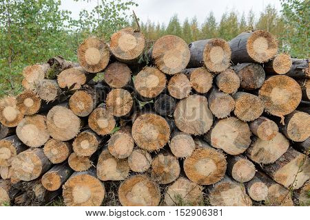 harvested logs for firewood drying in forest