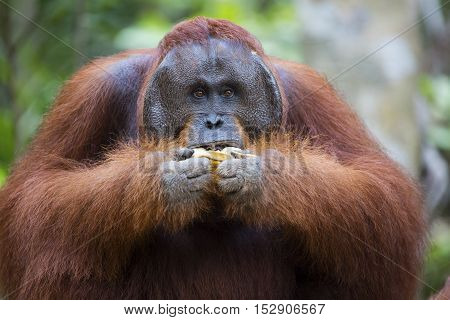 Male orang-utan eating a banana in his native habitat. Rainforest of Borneo.