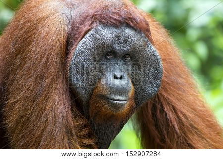 Dominant male orang-utan in his native habitat. Rainforest of Borneo.