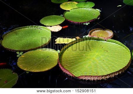 Leaves of water lily on the water surface
