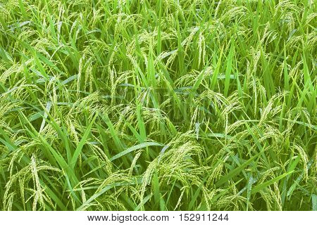 Rice fields on terraced Thailand, Vietnam or Bali