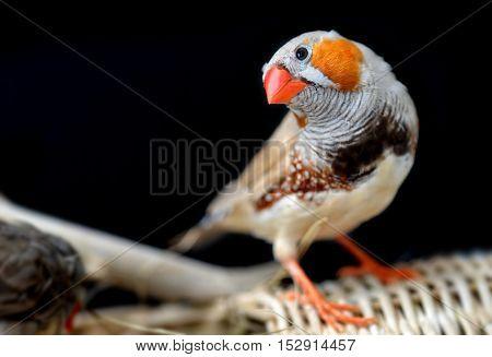 Colorful Of Zebra-finch Bird