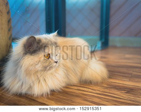 Close-up image of orange eyes and light brown furry cat repose in the room