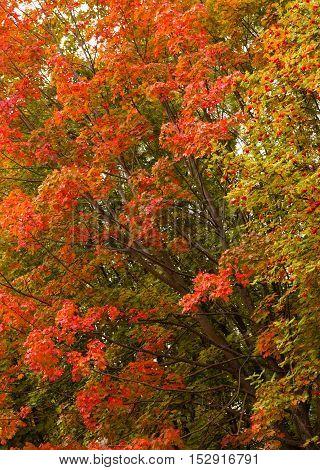 Artistic colorful oak autumn season leaves background.