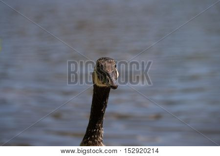 Close up from the head of a Canada Goose at the lake. Canada Geese