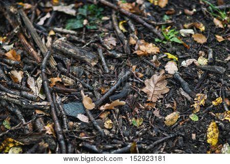 Droplets On Fallen Oak Leaves