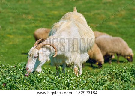 White She-Goat on the Pasture in front of Sheeps