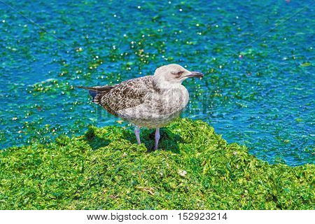 Birdling of Seagull on the Oozy Shore