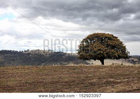 Lone tree on hill in rural Tasmania Australia
