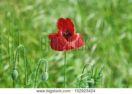 Red Poppy Flower against the Green Background (Shallow DoF)