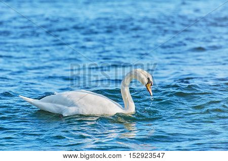 White Swan Resting on the Water in Black Sea
