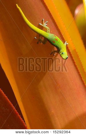Gecko Looking Up