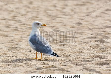 Seagull is Standing on the Sand and Looking Back
