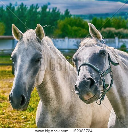 Close up Portrait of Two White Horses