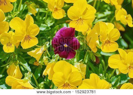 Magenta Garden Pansy Flower among Yellow Ones