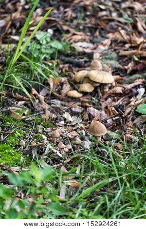 Fresh mushroom growing in the grass. Fall season