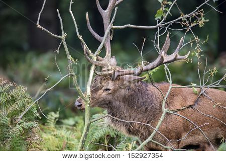 Red Deer Stag Using Fallen Branches To Clean The Velvet From His Antlers During Rut Season In Autumn