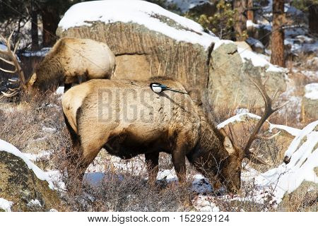 A magpie cleaning insects off a bull elk in Rocky Mountain National Park near Estes Park Colorado